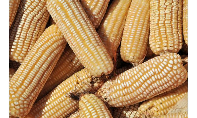Artificial intelligence and farmer knowledge boost smallholder maize yields
