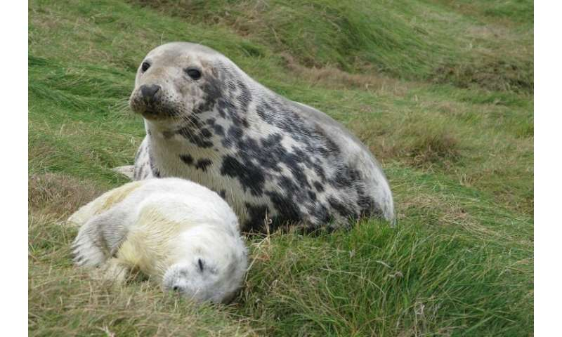 Scientists develop new method to estimate seal breeding frequency