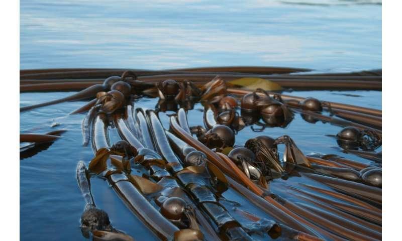 California's crashing kelp forest