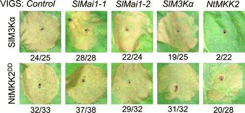 Discovery of a new protein gives insight into a long-standing plant immunity mystery