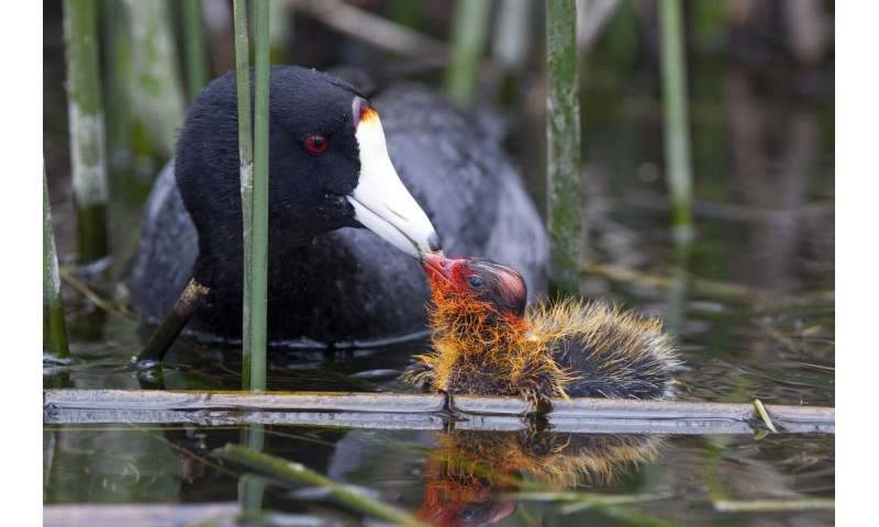The mysterious case of the ornamented coot chicks has a surprising explanation