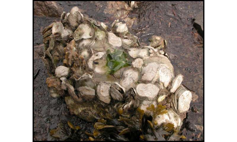 Climate change could shrink oyster habitat in California