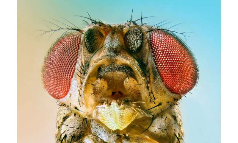 A 6,000-year-old fruit fly gave the world modern cheeses and yogurts
