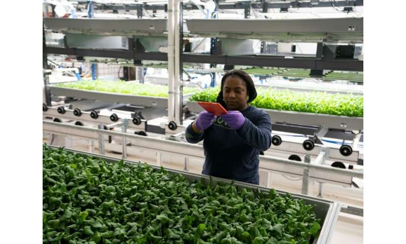 A Bowery Farming employee inspects some of their greens grown at the hydroponic farming company in Kearny, New Jersey