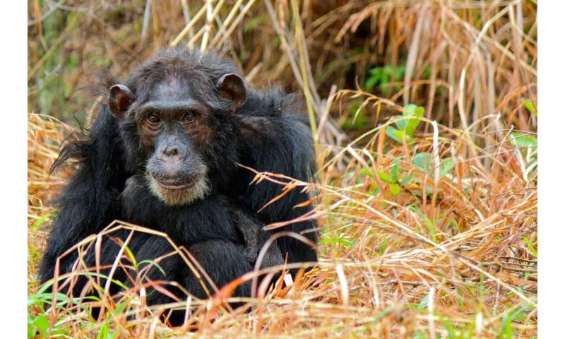A case of the chimp sniffles or major outbreak? Syndromic surveillance may hold the key