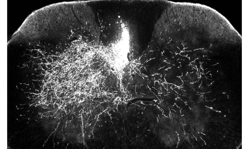 A common drug could help restore limb function after spinal cord injury