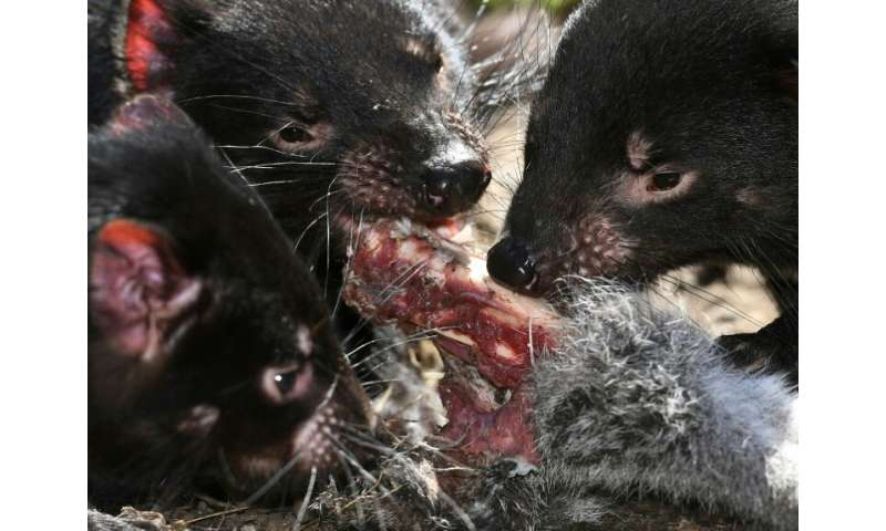 A contagious cancer is threatening Tasmanian devils with extinction, but these unique carnivores—and their human helpers—are ada