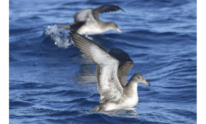 A couple of pink-footed shearwaters (Ardenna creatopus), which nest only in the Juan Fernandez islands in the Pacific off the co