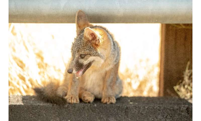 A coyote pup pants while taking cover under a side rail on the side of the road during 108-degree heat as the Carr fire rages on