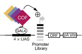 Activation of gene promoters: Scientists discover basis of regulatory specificity