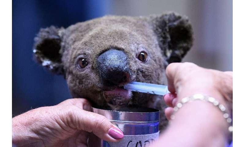 flipboard  hundreds of koalas feared dead in australian wildfires