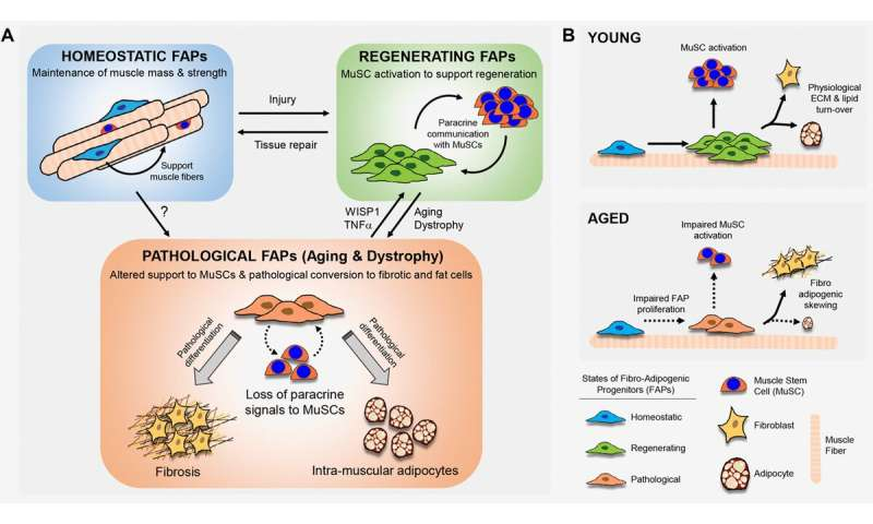 Adipogenic progenitors keep muscle stem cells young