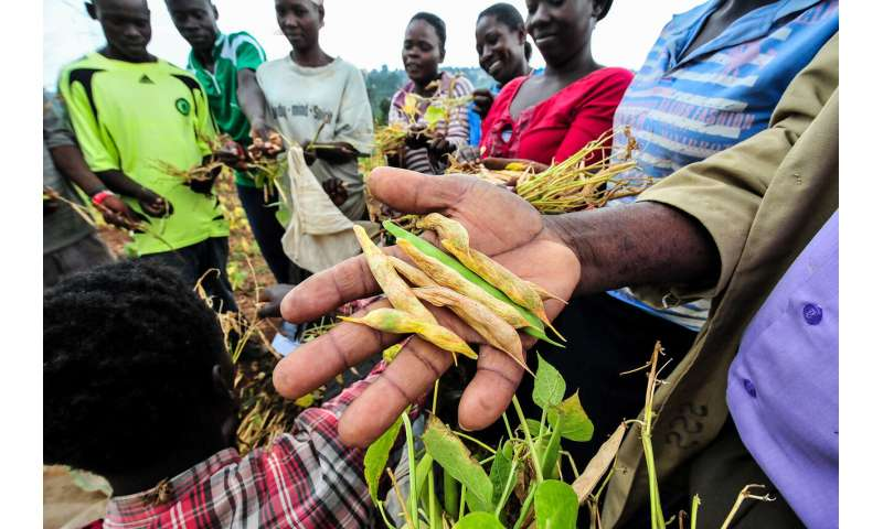 Advanced breeding paves the way for disease-resistant beans
