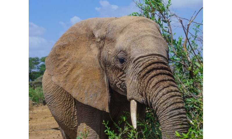 African elephants demonstrate movements that vary in response to ecological change