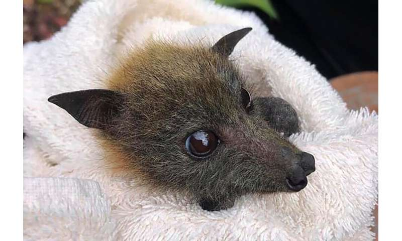 A fruit bat rescued from drought by Queensland Bats is nursed back to health at their wildlife centre on Australia's Gold Coast