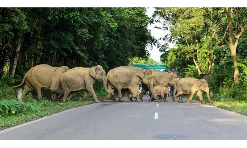 A herd of elephants cross a road in search of dry ground near Kaziranga National Park