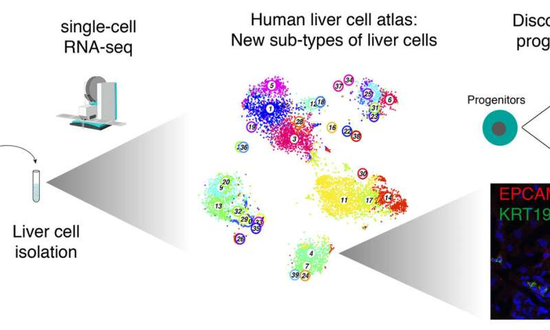 A human liver cell atlas