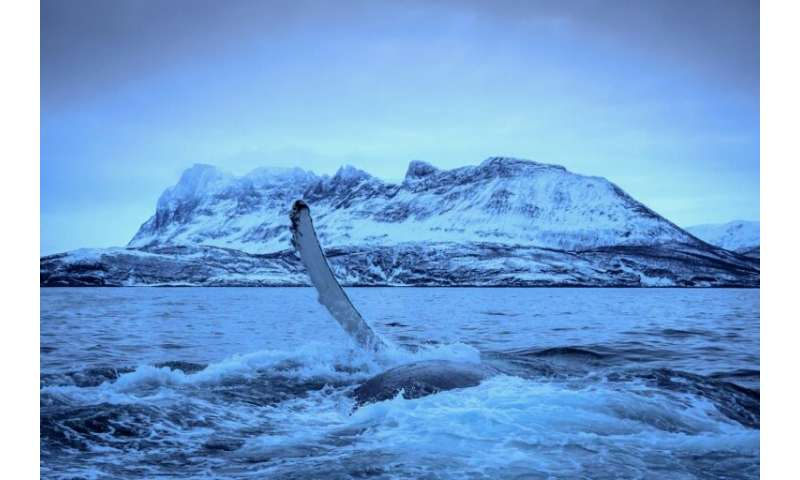 A Humpback Whale slaps water in Northern Norway where climate change is pushing killer whales and their prey to migrate further