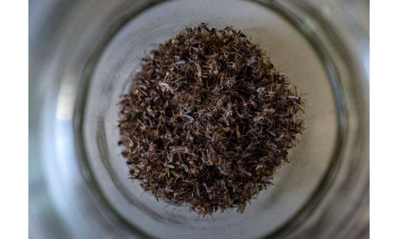 A jar full of dead mosquitoes at a lab researching mosquito-borne diseases at the Friedrich Loeffler Institute