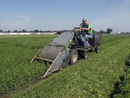 Alfalfa and potassium: It's complicated