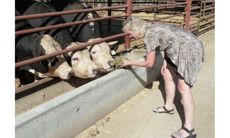 Alison Van Eenennaam, genetista de animales de la Universidad de California-Davis, alimenta la alfalfa a dos descendientes sin cuernos de un gen