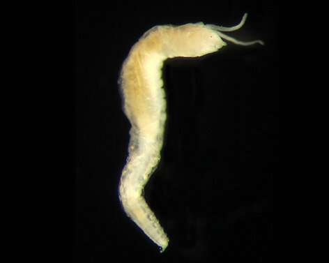 All eyes on a new worm species