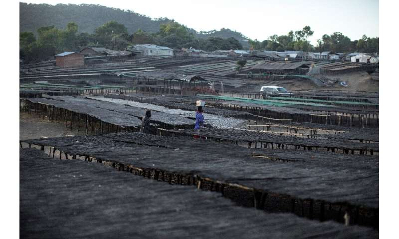 A Malawian fisherman walks through planks and table used to dry fish. Experts say declining fish catches are mainly due to unsus