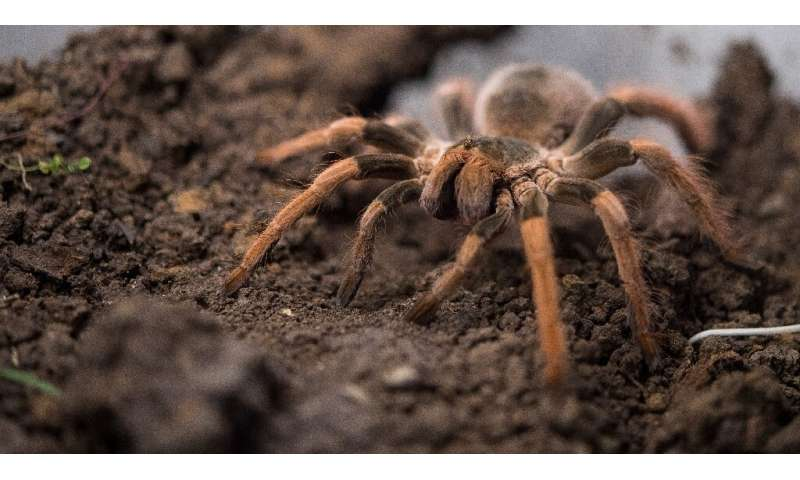 A man attempted to carry a bag containing 38 adult and some 50 young tarantula spiders, as well as dozens of egg-filled cocoons,