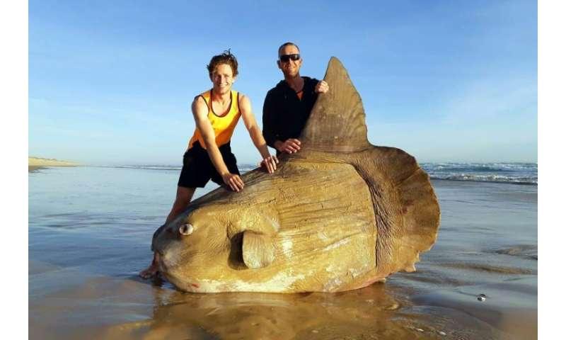 sunfish size huge