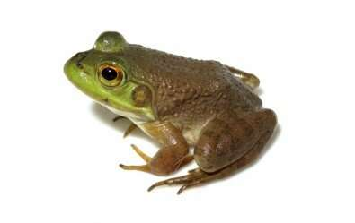 Amphibians infected by ranavirus found in Atlantic rain forest