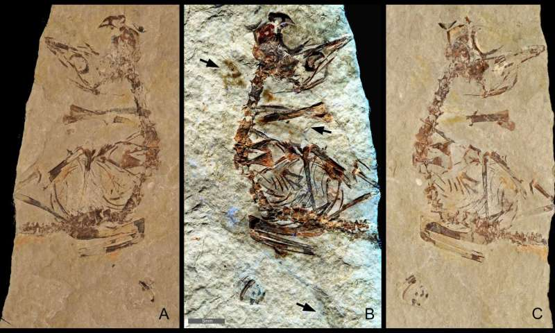 Ancient birds out of the egg running