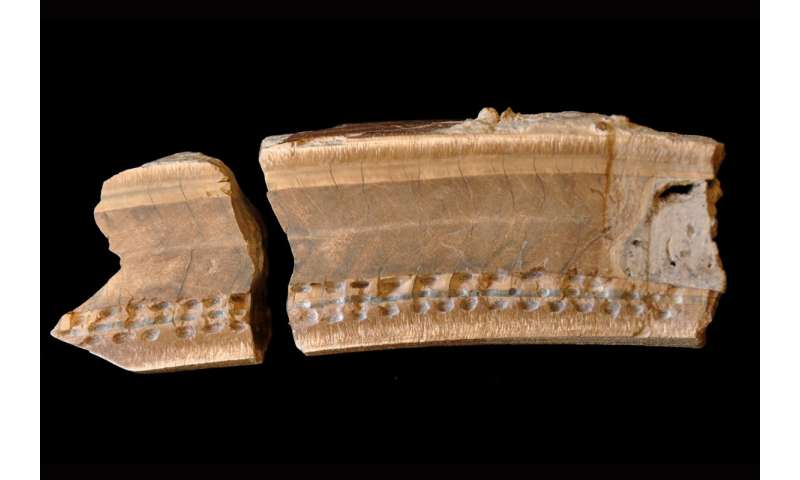Ancient extinct sloth tooth in Belize tells story of creature's last year