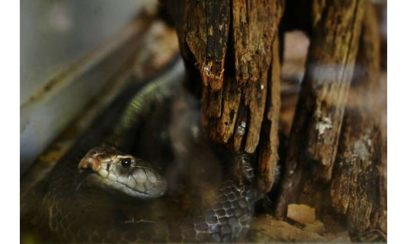 An estimated 81,000-138,000 people die of snakebites annually, according to the World Health Organization