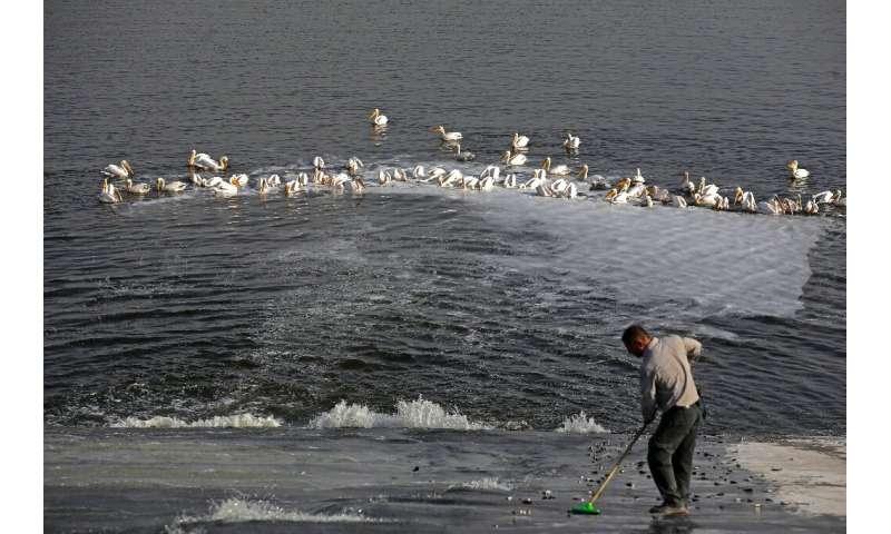 Un empleado de la Autoridad de Parques y Naturaleza israelí alimenta a los pelícanos con peces para que no ataquen las piscinas comerciales de peces