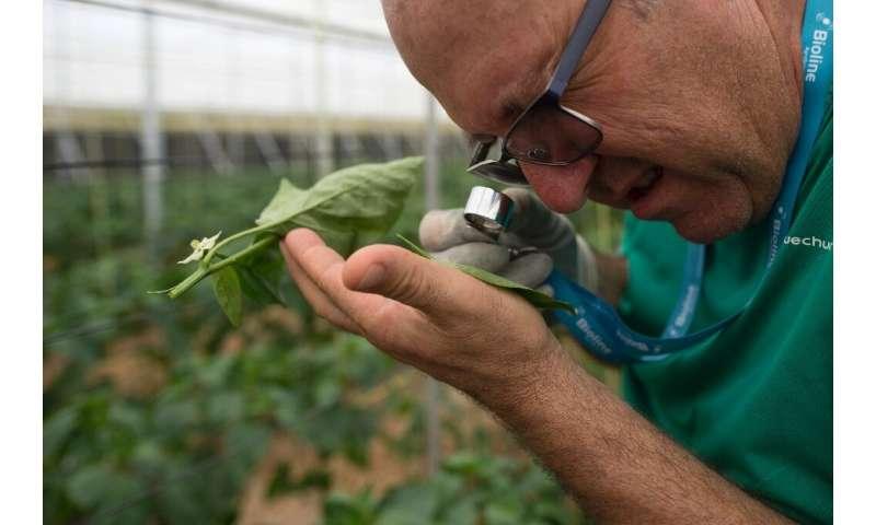 Antonio Zamora ya no se pone un traje para rociar sus cultivos con insecticidas, sino que cuelga pequeñas bolsas de ácaros en las plantas.