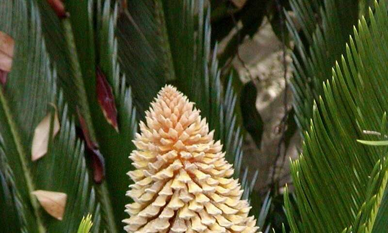 Appearance of male and female cycad on Isle of Wight an indicator of global warming