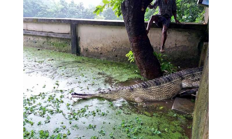 A rare gharial crocodile at a zoo in Bangladesh, where conservationsists hope a captive breeding program might save the critical