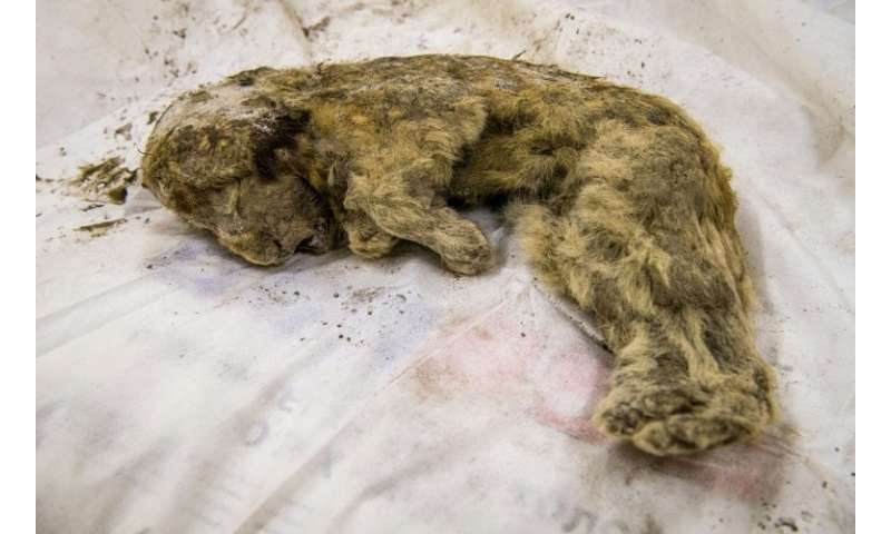 A rare prehistoric cave lion cub was found by a collector last summer