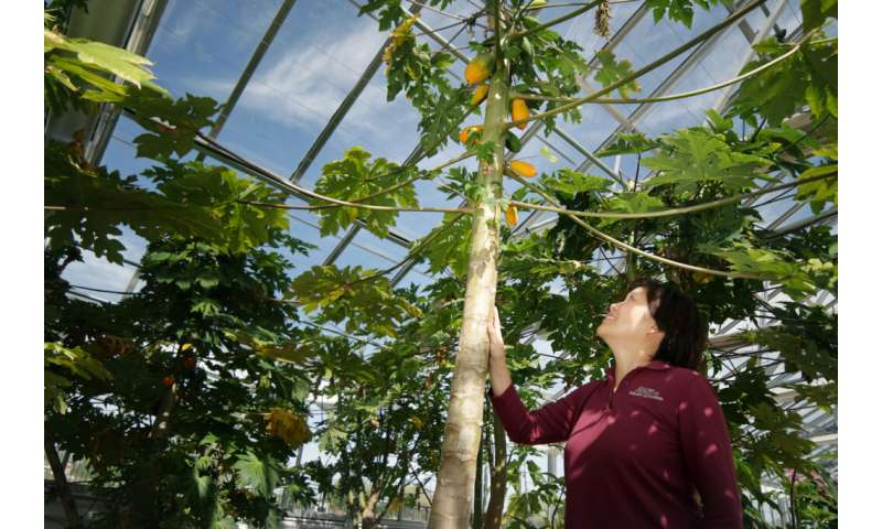 A sex-determining gene might help guarantee better papaya production