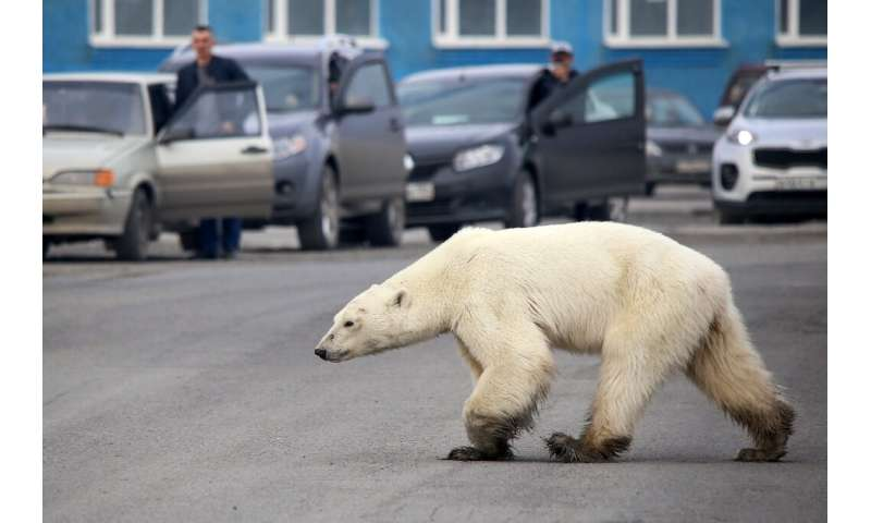 A stray polar bear walks along a road near the Russian industrial city of Norilsk, hundreds of kilometres from its natural habit