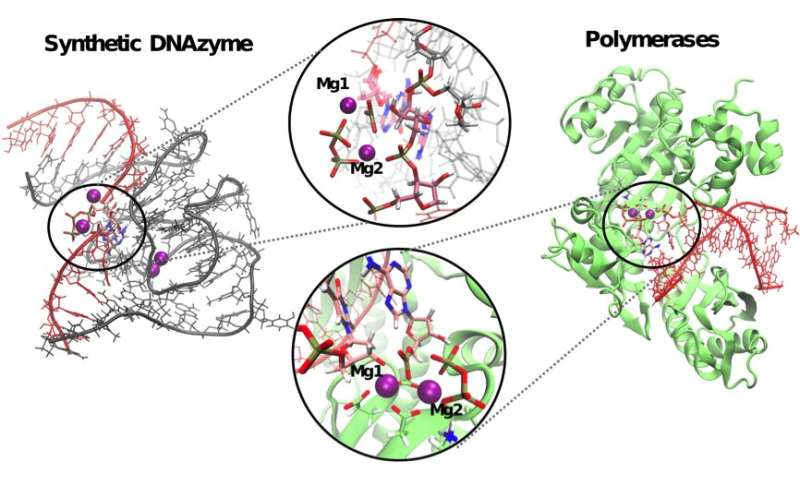 A study from IRB Barcelona describes the reaction mechanism of DNAzymes