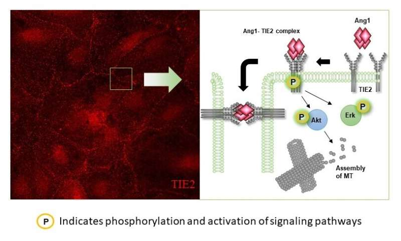 "A ""switch"" that regulates traffic across blood vessels"