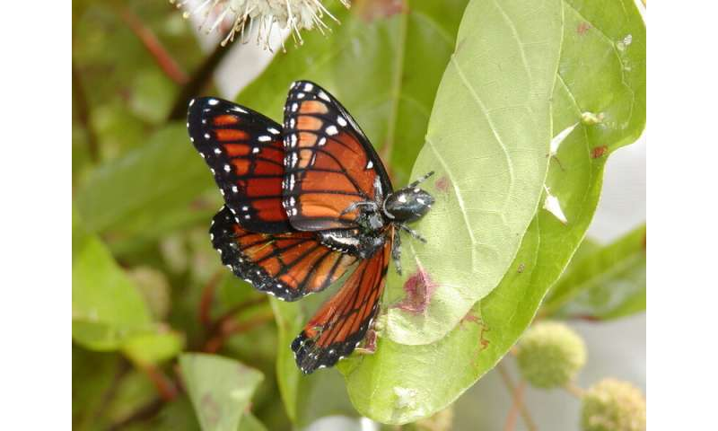 A tasty Florida butterfly turns sour