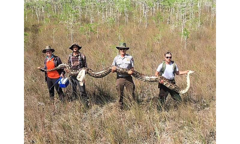 A team with the Big Cypress National Preserve in Ochopee, Florida holds a female python measuring over 17 feet long and weighing
