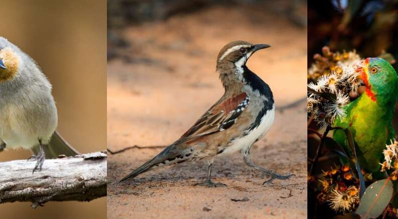 Australia's threatened birds declined by 59% over the past 30 years