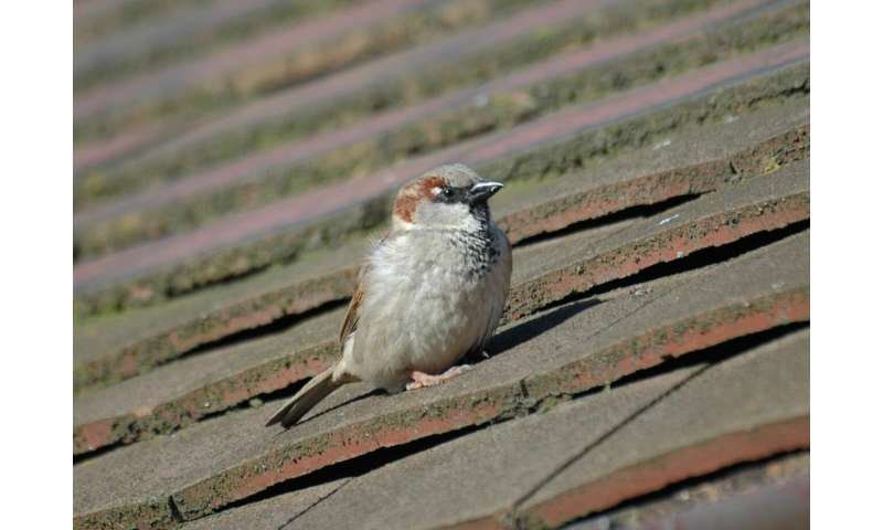 Avian malaria behind drastic decline of London's iconic sparrow?