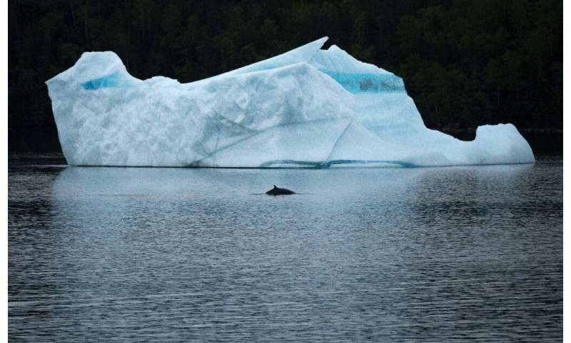 A whale swims in front of an iceberg at King's Point