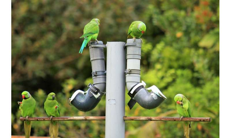 Back to the drawing board for conservationists battling against infectious parrot disease