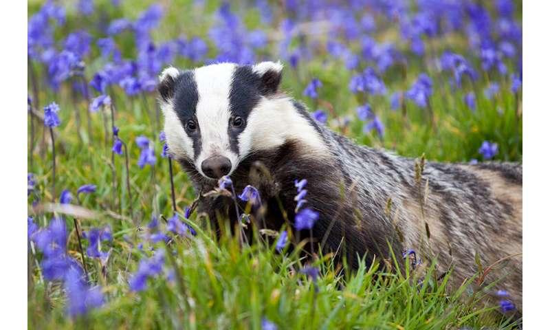 Badger behavior inside the cull zone