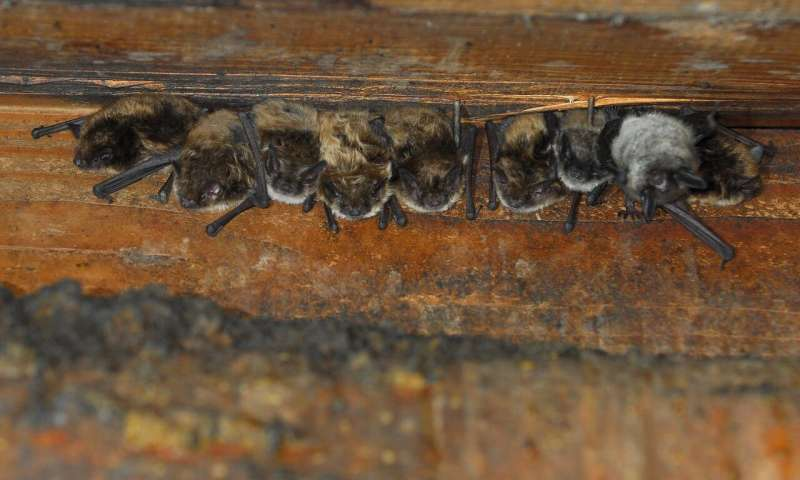 Bats in attics might be necessary for conservation